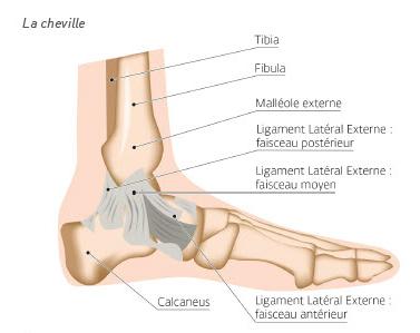 Anatomie de la cheville DJO